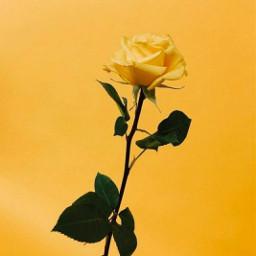 freetoedit yellow aesthetic mood photography aesthetictumblr photo post yellowaesthetic followme yellowtheme beautiful rose edits yellowrose beauty flower aesthetics