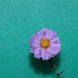 daisy flower simpledaisy minimalism