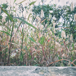 freetoedit nature grass foxtail green