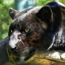 animals petsandanimals lion jaguar e-go my