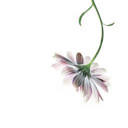 minimalism flowers daisy singleflower nature freetoedit