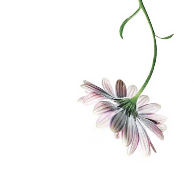 #minimalism #flowers #daisy #singleflower #nature #upsidedown #negativespace #emptycanvas #minimalphotography  #freetoedit