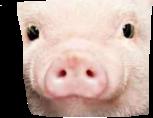 pig cute closeup funny nose freetoedit