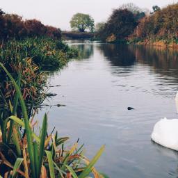 nature swan lowangle canalside birds freetoedit