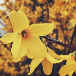 freetoedit background backgroundforyou yellow flower
