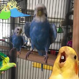freetoedit birbs budgies cockatiel blueys