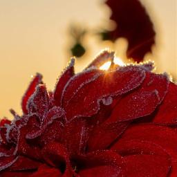 photography photooftoday flower frozen sunday freetoedit