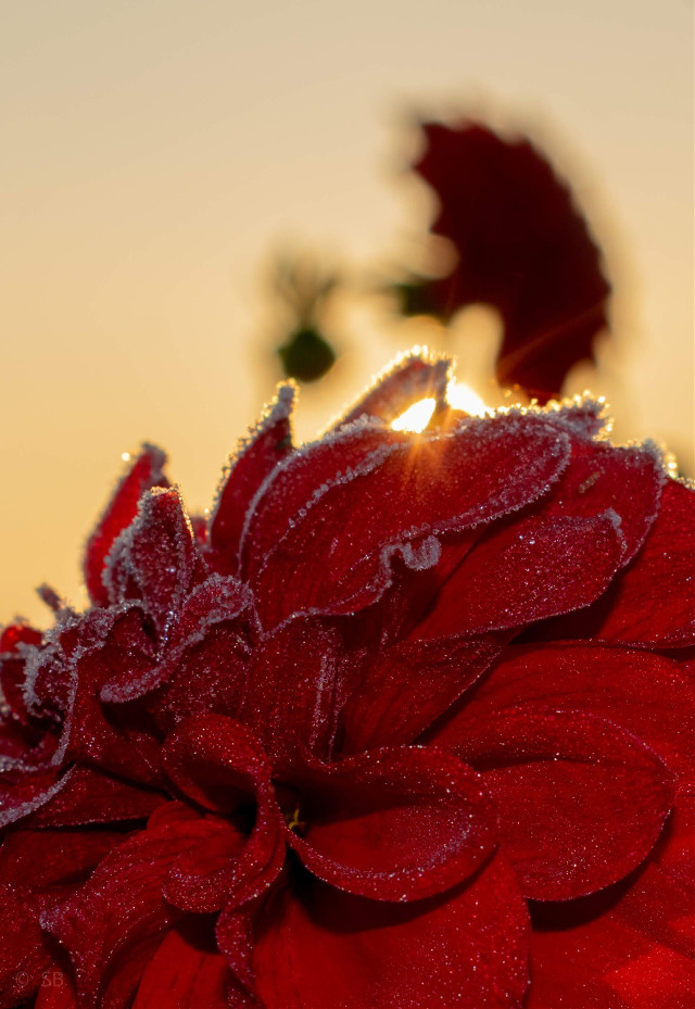 sunlight through a frozen flower 🤷‍♀️ l never meant to take poetic photos 😜😂  #photography #photooftoday #flower #frozen #sunday #morning #macro #depthoffield #myphoto #beauty  #freetoedit