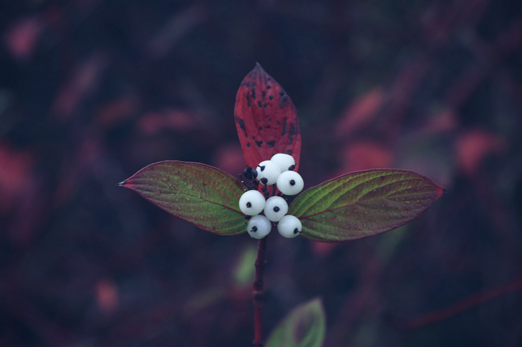 Just liked these berries #nature #berries #leaves #colourful  #freetoedit