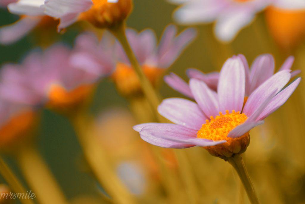 #freetoedit #naturephotography #flower #daisy #photography