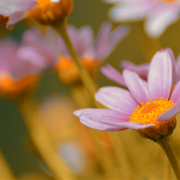 freetoedit naturephotography flower daisy photography