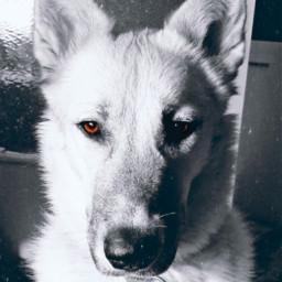 myphotography puppy dog husky cute freetoedit