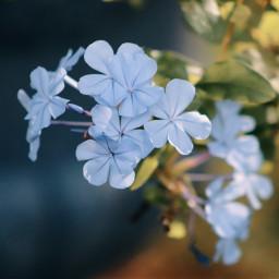 freetoedit nature colorful photography flowers inmyneighborhood canonphotography plumbago