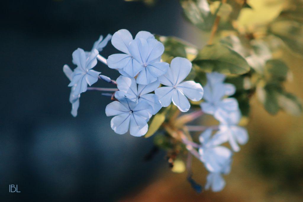#freetoedit #nature #colorful #photography #flowers #inmyneighborhood #canonphotography #plumbago