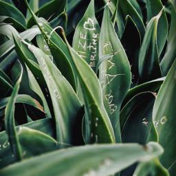 nature agaveplant graffitiwriting leaves urbannaturephotography freetoedit