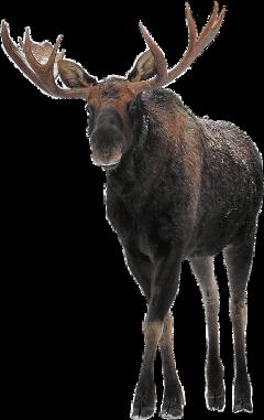 art animals moose winter large freetoedit