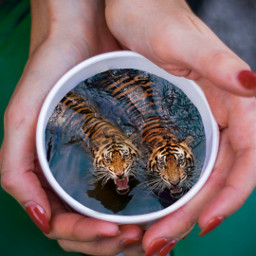 freetoedit cup hands coffeecup tigers water