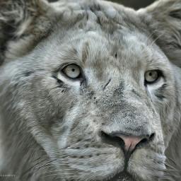 lion petsandanimals king picoftheday