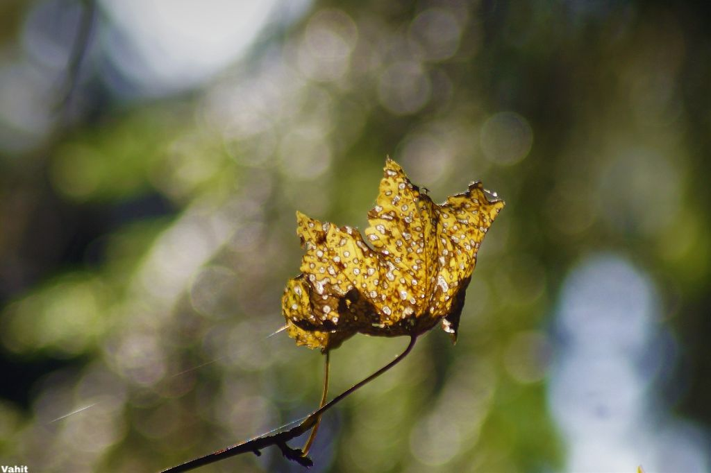 #freetoedit #leaf #nature #bokeh#closeup#myphotography#nofilter