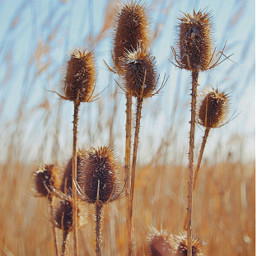 nature wildplants thistles grass bluredbackground freetoedit