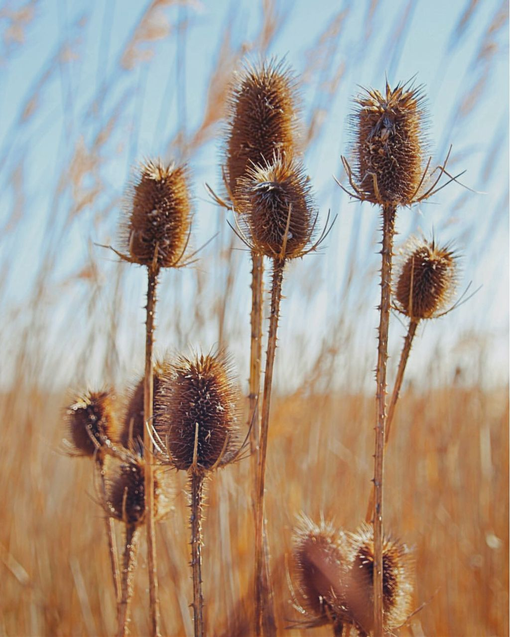 #nature #wildplants #thistles #grass #bluredbackground #depthoffield #horizon #sunnylight #bluesky #naturephotography                                                                   #freetoedit
