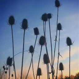 nature endoftheday bluehour eveningsky wildplants freetoedit