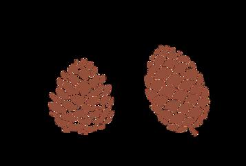 pine pinecone brown plant freetoedit