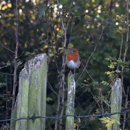nature birds robin fence closeup freetoedit