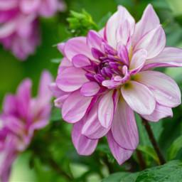 photography myphoto purple flower flowers freetoedit