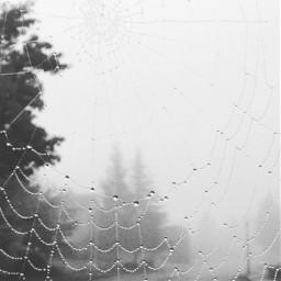 foggymorning spidersweb dew conifers pnw pcgloomyweather gloomyweather