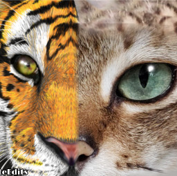 freetoedit tiger cat tigercat hybrid irccatglance catglance