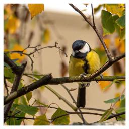 bird kohlmeise tit nature freetoedit