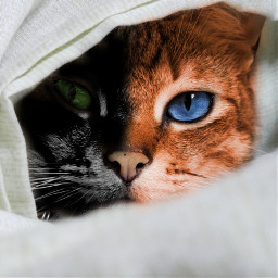 freetoedit cats competition love edit irccatglance catglance
