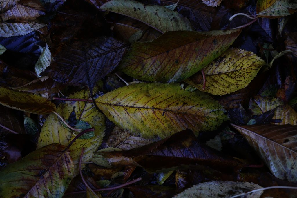 Just liked these wet leaves #nature #leaves #colourful #aftertherain #wetleaves #outandabout  #freetoedit