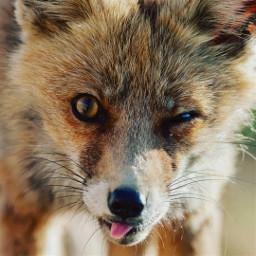 fox foxlove