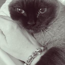 blackandwhite mycat catsofpicsart catsphotography catslover