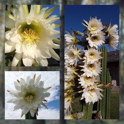 freetoedit collage cacti cactus flowers