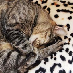 cats sleeping petsandanimals sleepingcat
