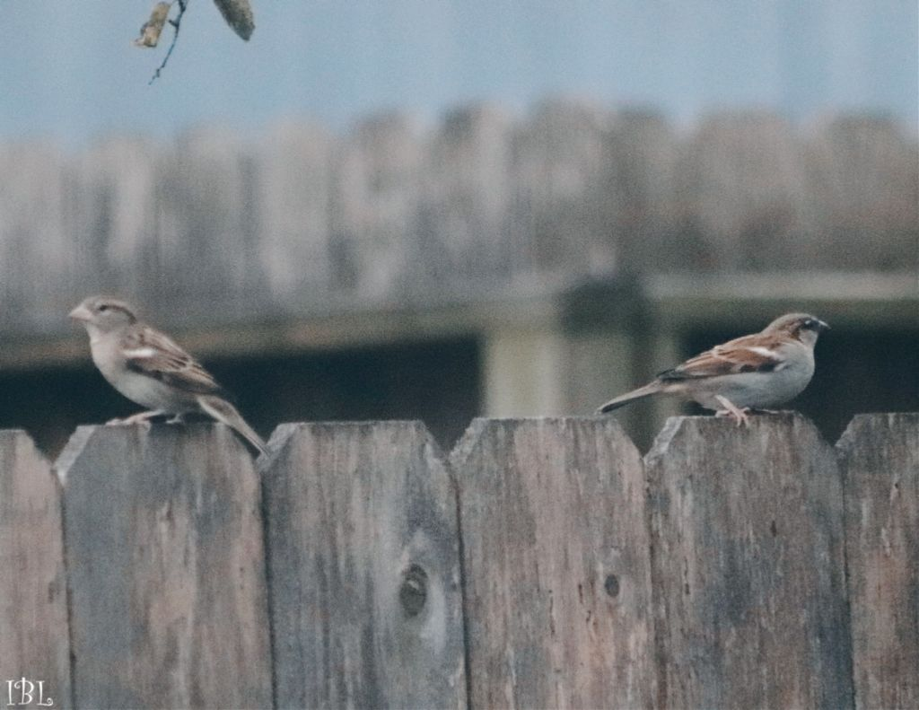 #freetoedit #nature #colorful #photography #birds #thingsinmybackyard #cute #canonphotography #sparrow