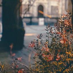 autumn flowers shotoniphone myphoto madewithpicsart