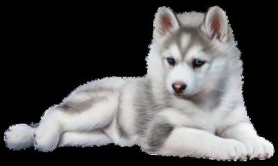 cute dog doggie husky huskypuppy freetoedit