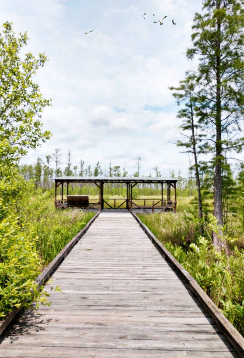 Okefenokee Swamp adventure - #freetoedit #okefenokee #okefenokeeswamp #observation #swamp #outdoors #nature #naturelover #happiness #birds #observationdeck #trees #green #view #wildlife #remixit