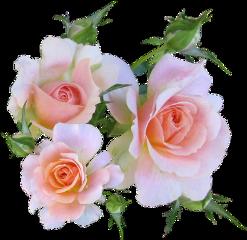 roses rose softpink beautiful love freetoedit