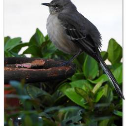 myphotography wildllife bird mockingbird bushes