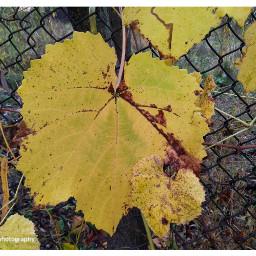 freetoedit followme leafs leaves leaveschanging
