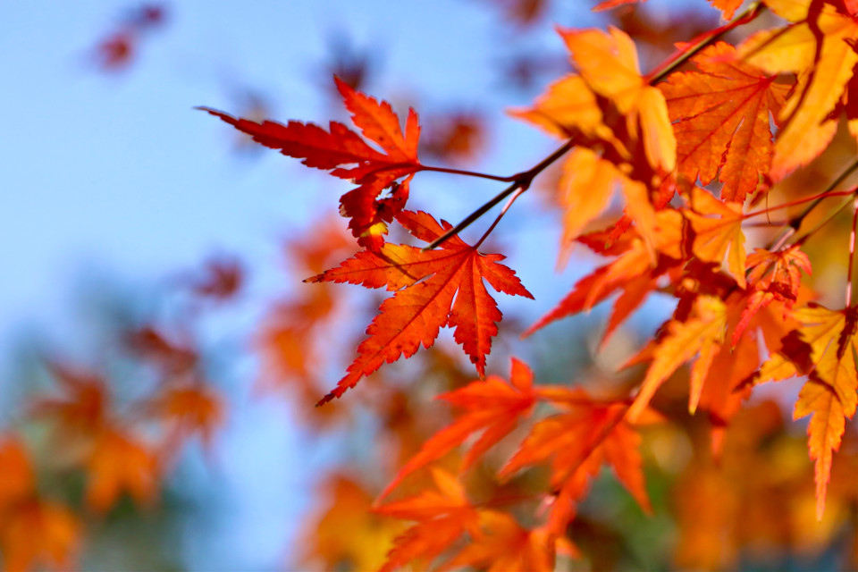 Red Leaves In Autumn #freetoedit