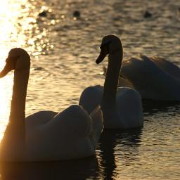 swan sunset sunsetsilhouette naturephotography
