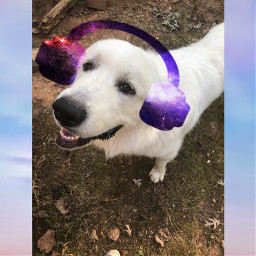 notfreetoeditsorry dogs whitedog puppydog freetoedit srcheadphone headphone