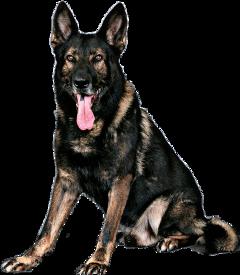 brown tan germanshepherd petsandanimals dog freetoedit