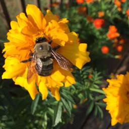 picoftheday bee vmo18